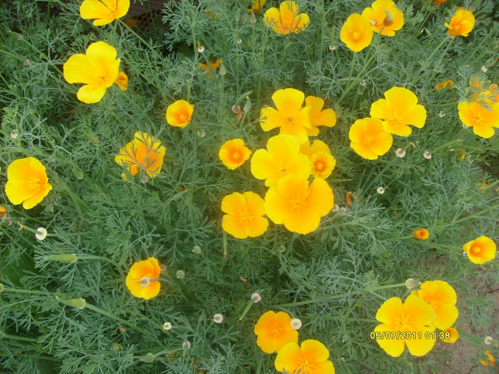 Эшшольция фото цветов 9 фотография
